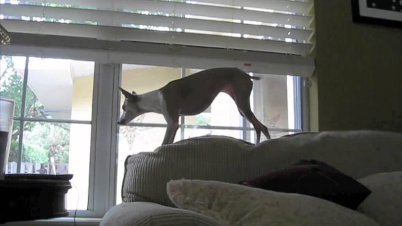 Resultado de imagen para italian greyhound squirrel
