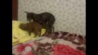 Мамаша играется со своим щенком. (Русский той-терьер)
