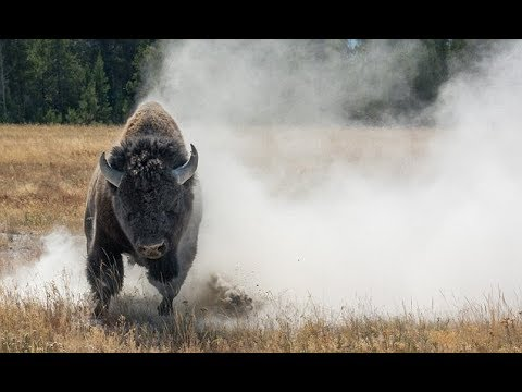 Terrifying moment bison c harges straight at a photographer in Yellowstone National Park