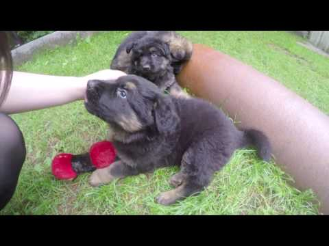 Picking up our 8 week old German Shepherd puppy Ryuk!