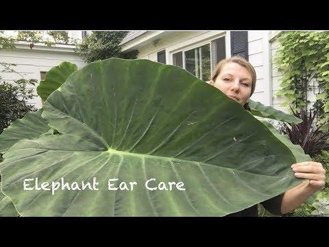 💚 Elephant Ear ~ Summer ~ Care ~ Storage 💚