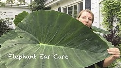 Elephant Ear ~ Summer ~ Care ~ Storage