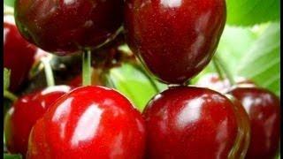 Kiraz (Vişne) meyve ağacı budaması (ön bilgi) 1. Bölüm