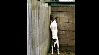 Jumping Dog Sees Over 6 ft Fence