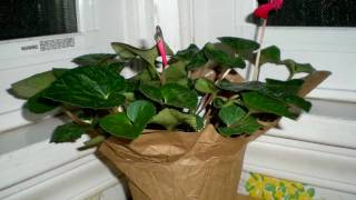 Cyclamen blooming
