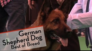Crufts 2015 - German Shepherd Dog - Best Of Breed