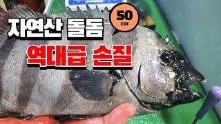 [한달만에 들어온 자연산 대물 돌돔 손질] 50cm 돌…