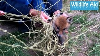 Baby fox completely tangled in football net