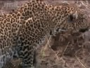 Watch African Wildlife – Leopards Ambush Their Prey | BBC Studios