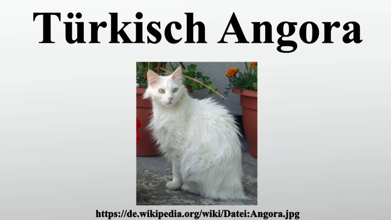 Türkische Angora