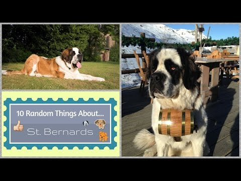10 Random Things About...St. Bernards