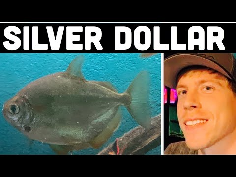 Silver Dollar Fish Growth Rate, Size, & Food