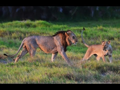 Conservationists tackle extinction of Nigerian lions