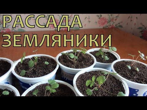 Выращивание ЗЕМЛЯНИКИ (КЛУБНИКИ) из семян. Уход за РАССАДОЙ после пикировки