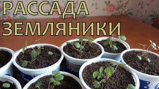 Выращивание ЗЕМЛЯНИКИ (КЛУБНИКИ) из семян. Уход за РАССАДОЙ после пикировки(Всем привет! Сейчас середина мая, с момента пикировки земляники прошло много времени. На растениях появилис..., 2015-04-12T15:11:26.000Z)