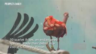 30 scarlet ibises, an endangered species, made their debut in a zoo in C China's Henan.