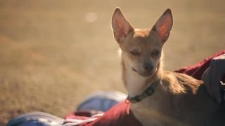 Pomeranian-chihuahua Mix Plays With The Big Dogs | The Daily Puppy