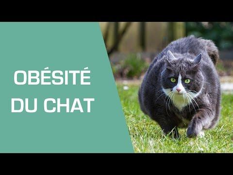 Mon Chat Est Obèse : Que Faire ? - Animaux