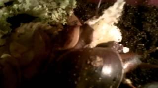 Achatina fulica /Afrikanische Riesenschnecken