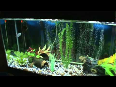 Oscar Fish 55 gallon aquarium   YouTube