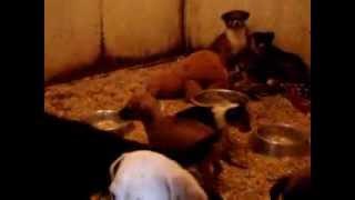 Собаки и щенки в даугавпилсском приюте