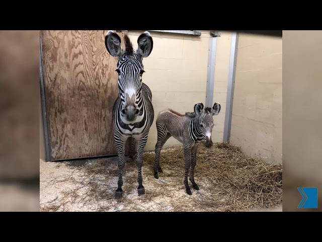 The Toronto Zoo welcomed a baby zebra this month — and it's asking the public's help to name the new animal. Tori, an 8-year-old Grevy's zebra, gave birth to a male foal on Feb. 13, the zoo said in a news release Tuesday.