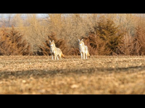 Using Coyote Vocals For Breeding Season Coyotes | The Last Stand S2:E9