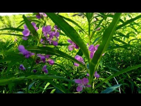 Сбор листьев Иван-Чая. Ферментирование.    #ферментирование #сборлистьев #иванчай  #кипрей