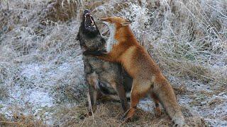 ЛИСИЦА В ДЕЛЕ... Лиса против собак, орлов, кошек, крыс...