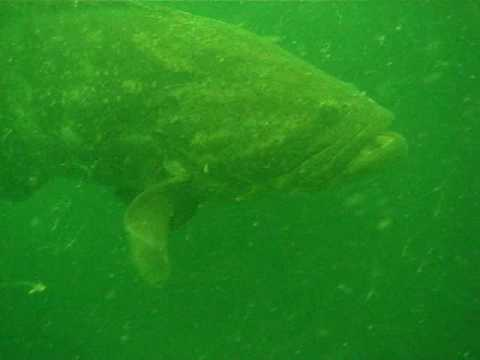 spearfishing panama grouper mero buceo caceria submarina underwater