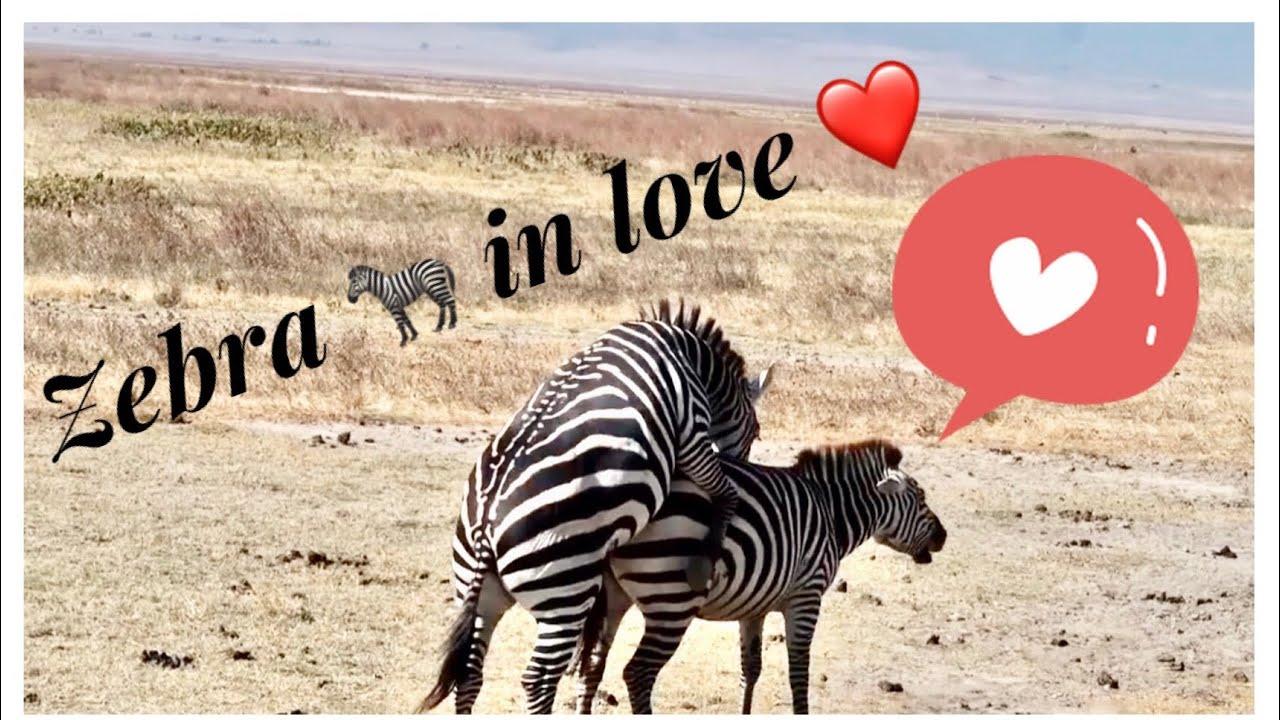 Download ZEBRA MATING 🦓 ❤️❤️ TANZANIA SAFARI
