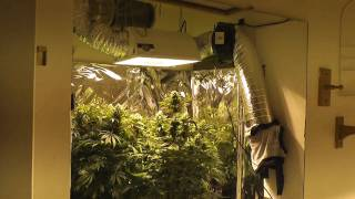 1000w Mh/Hps grow - Week 8 flowering