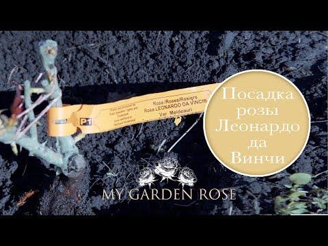 Посадка розы Леонардо да Винчи. My Garden Rose