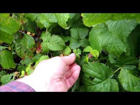 Picking Raspberries 2017