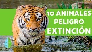 10 ANIMALES EN PELIGRO DE EXTINCION 2018
