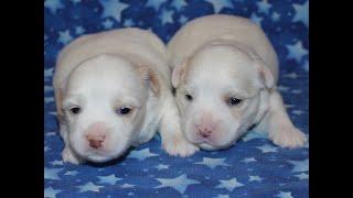 Coton de Tulear Puppies For Sale - Kaley 5/7/21