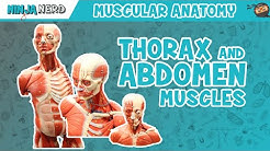 Muscles of the Thorax & Abdomen | Anatomy Model