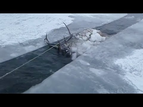 Christina Martinez - Heartwarming rescue of red deer from frozen river