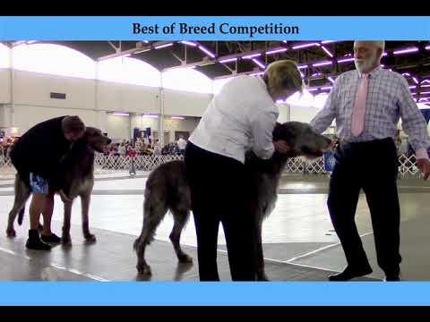 7-6-2018 Trinity Valley Kennel Club - Irish Wolfhounds