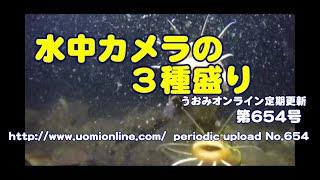 水中カメラ3台体制【水中動画の定期更新No.654】