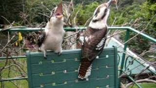 Kookaburra laugh...just Laugh
