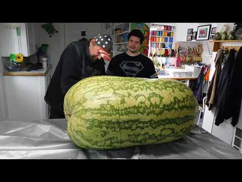 Giant Watermelon 288 lbs. cut open (see inside )
