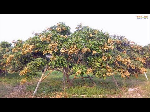 WOW! Amazing Agriculture Technology - Longan