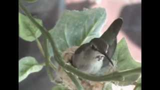 Hummingbird Nests Funny Places