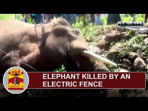 Elephant killed by an Electric Fence near Sathyamangalam | Thanthi TV