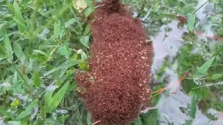 Fire ants band together to escape Houston flood