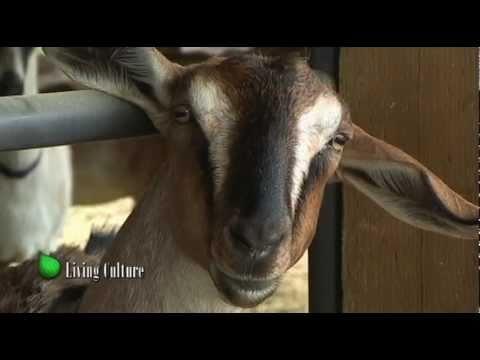 Organic Goat Cheese at  Fairview Farm Dairy