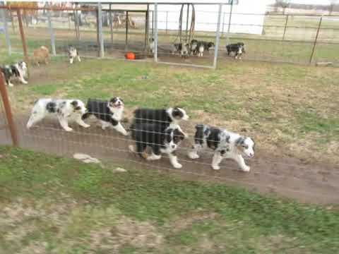 Australian Shepherd Puppies at www.fifteenacrefarms.com
