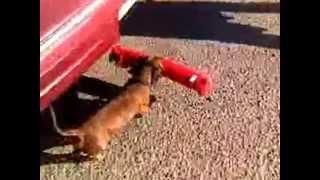 Dachshund Puppy Shoplifitng: Watch This Dachshund Puppy Steal A New Toy
