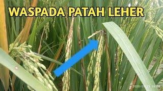 Download lagu Cara mengatasi blas leher tanaman padi